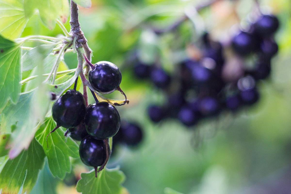 САД, ЦВЕТНИК И ОГОРОД. Йошта: удивительное растение в вашем саду