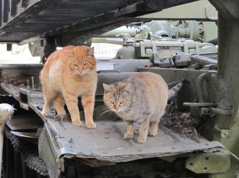 Живем мы здесь. бронетехника, животные, коты
