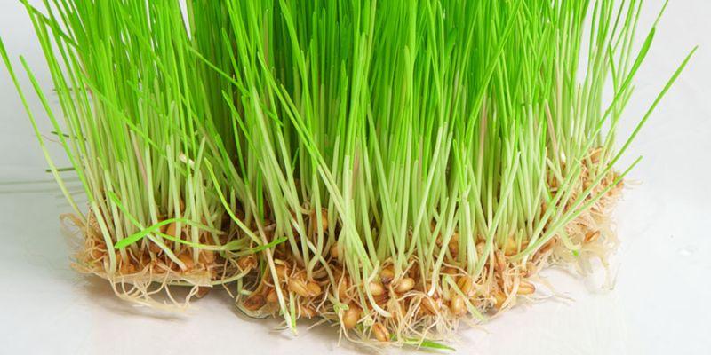 Полезные свойства проросшей пшеницы