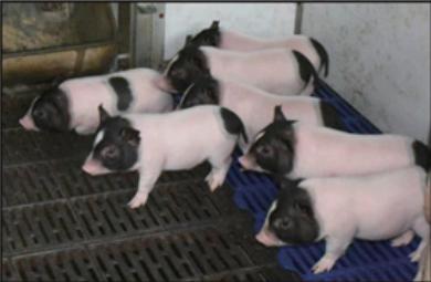 Китайцы «починили» свиней. Получились худые и морозоустойчивые ГМ-поросята