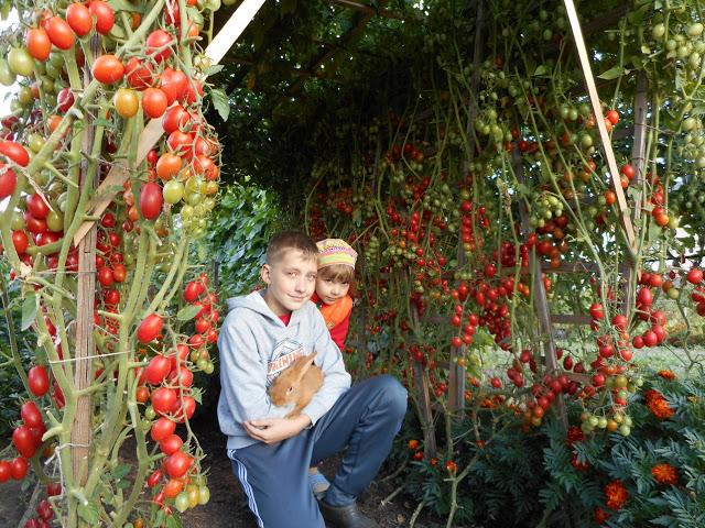 Хотите получать по 2 ведра помидор с куста — узнайте секрет!