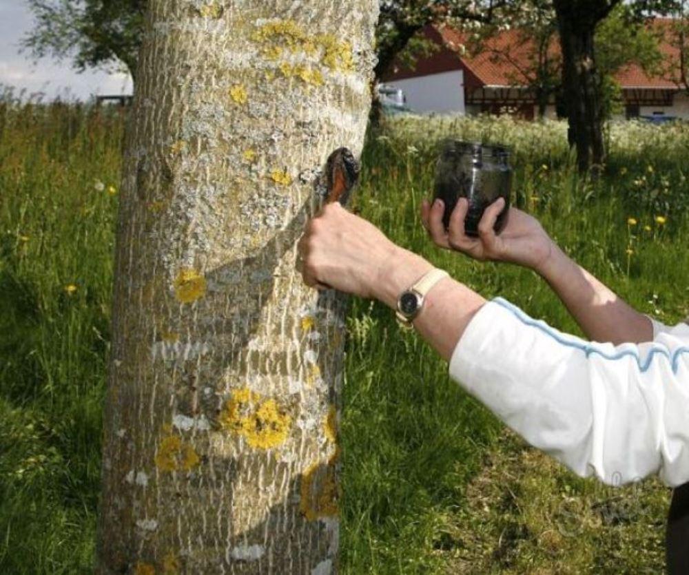 Как сделать чтобы дерево засохло на корню