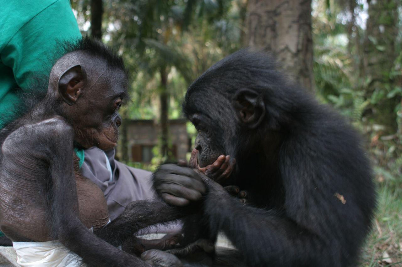 Шимпанзе научились передавать друг другу семейные традиции