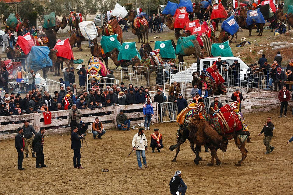 Верблюжьи бои на ежегодном фестивале в Турции