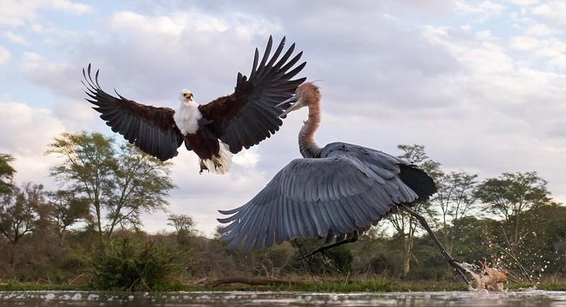 Схватка цапли с орлом орел, схватка, цапля