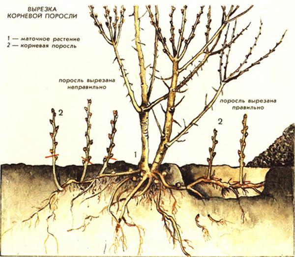 Причины образования корневой поросли и способы борьбы с нею