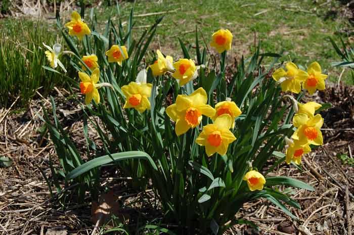 Луковичные цветы для сада каталог с