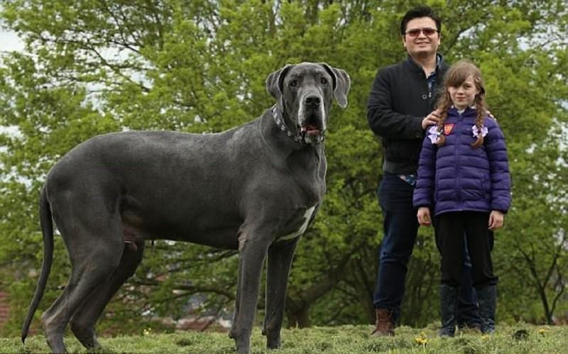 Самый крупный пес Великобритании весит как слоненок
