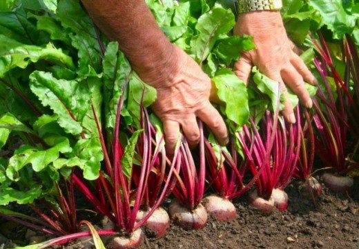 Как получить хороший урожай свёклы