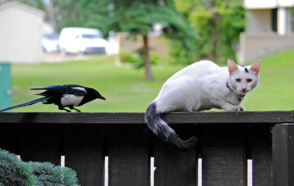 Злая сорока напала на кота (видео)