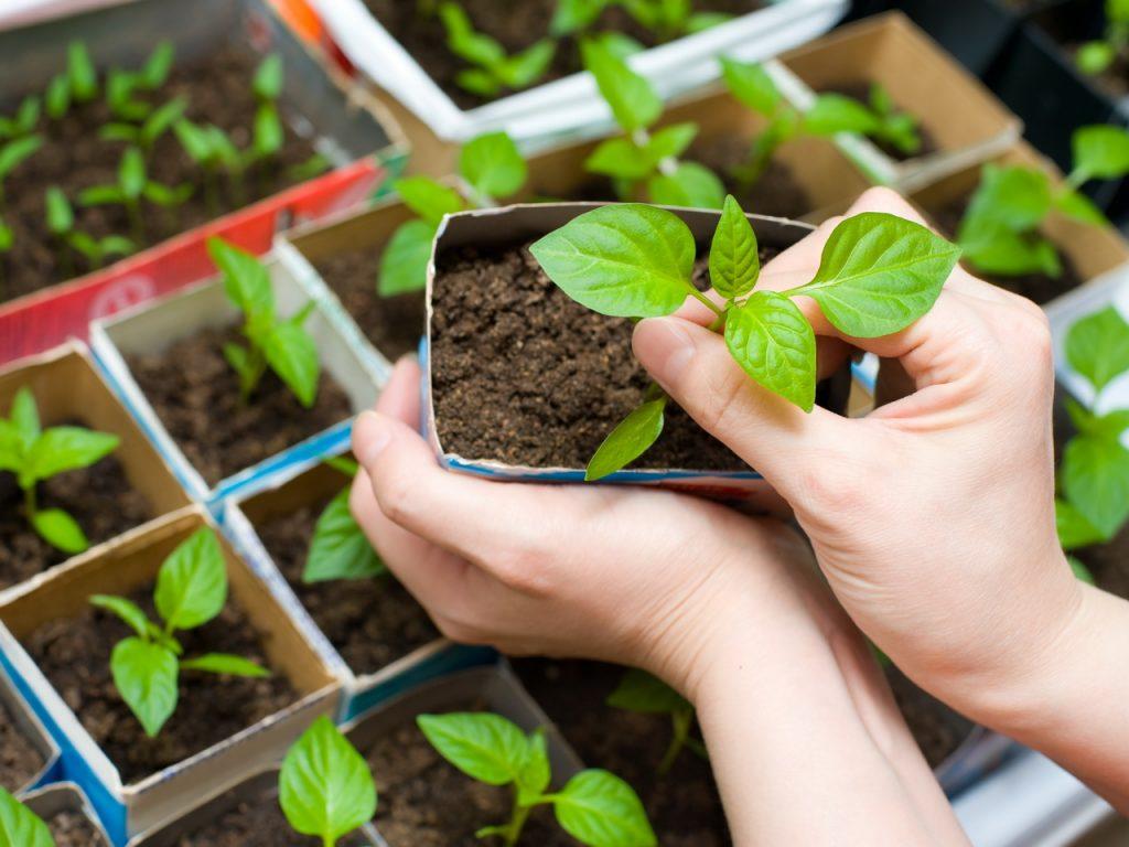 Упрошенный способ выращивания рассады
