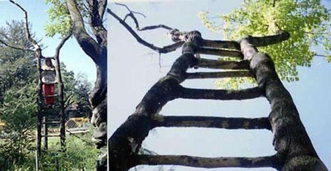 Дерево-лестница…