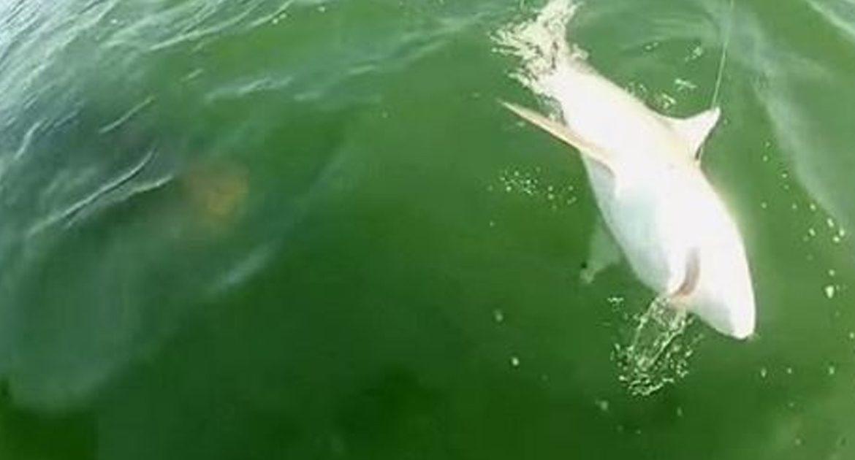 Гигантский морской окунь проглотил акулу целиком! Прямо на глазах изумленных рыбаков!