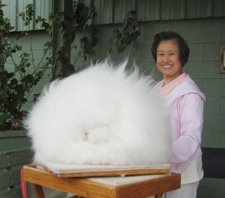 ангора-кролик-3