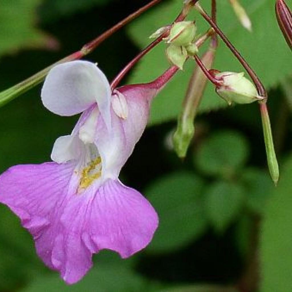 Комнатный цветок стреляет семенами фото