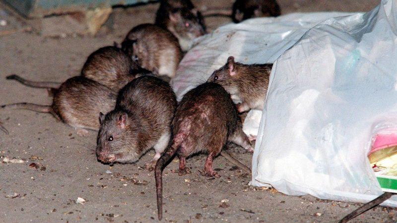 «Вонь, крысы, инфекция»: мусорная блокада вернёт Львов в среднековье