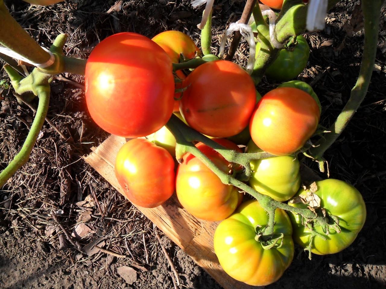 Как вырастить помидоры без рассады