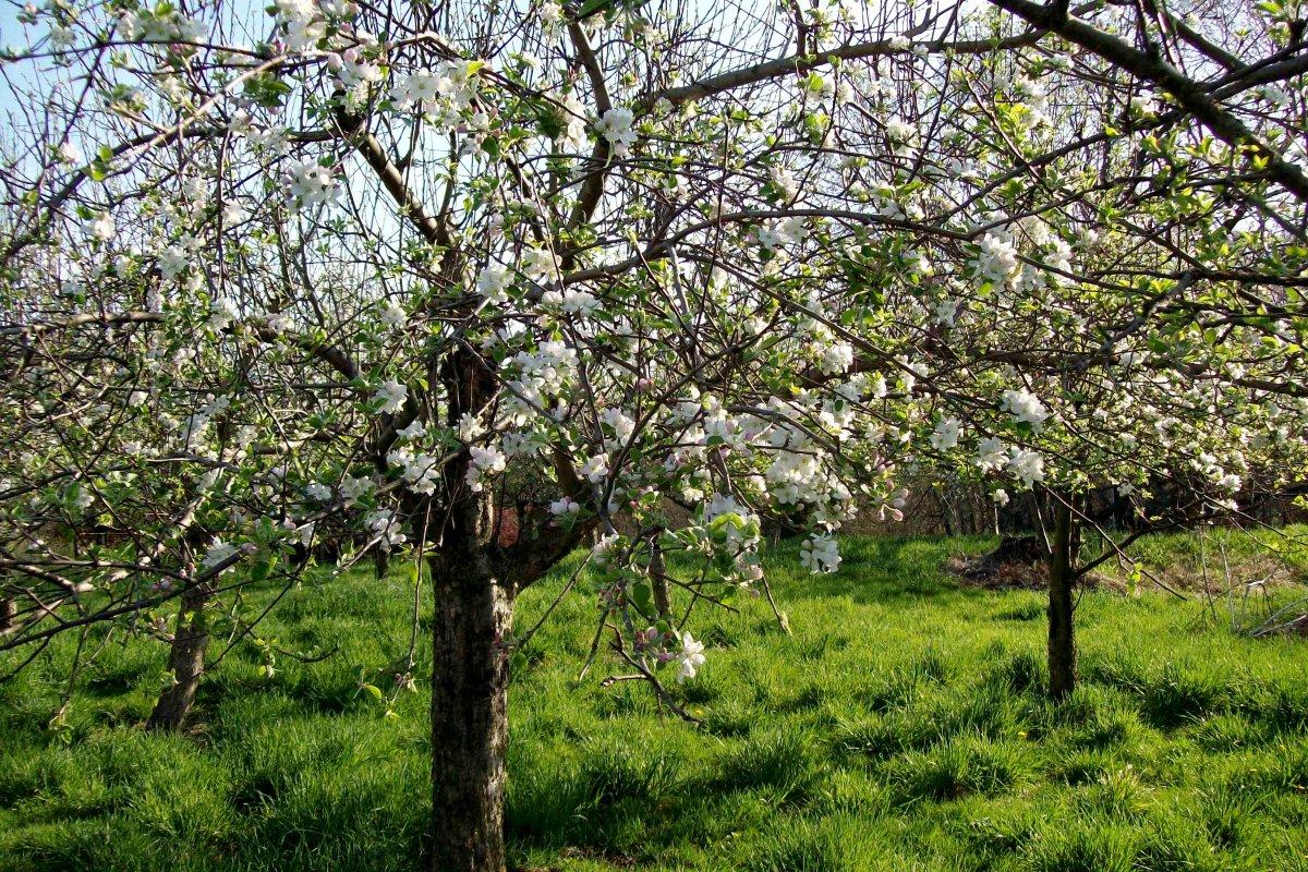 Картинки по запросу здоровая крона плодового дерева