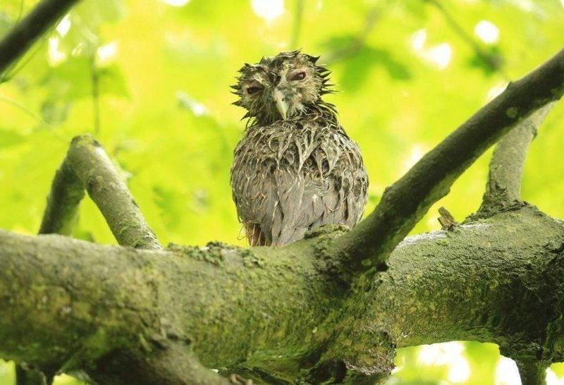 5 фото мокрых птенцов неясыти, которые поднимут настроение каждому