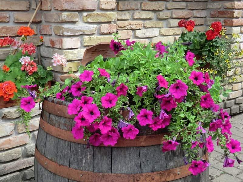 Оригинальное применение старой бочки под красивый цветник из петуний