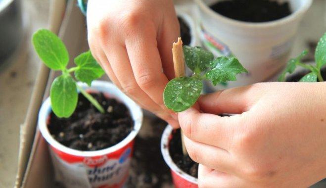 Как самостоятельно сделать лучший грунт для рассады огурцов, помидоров, перца и капусты