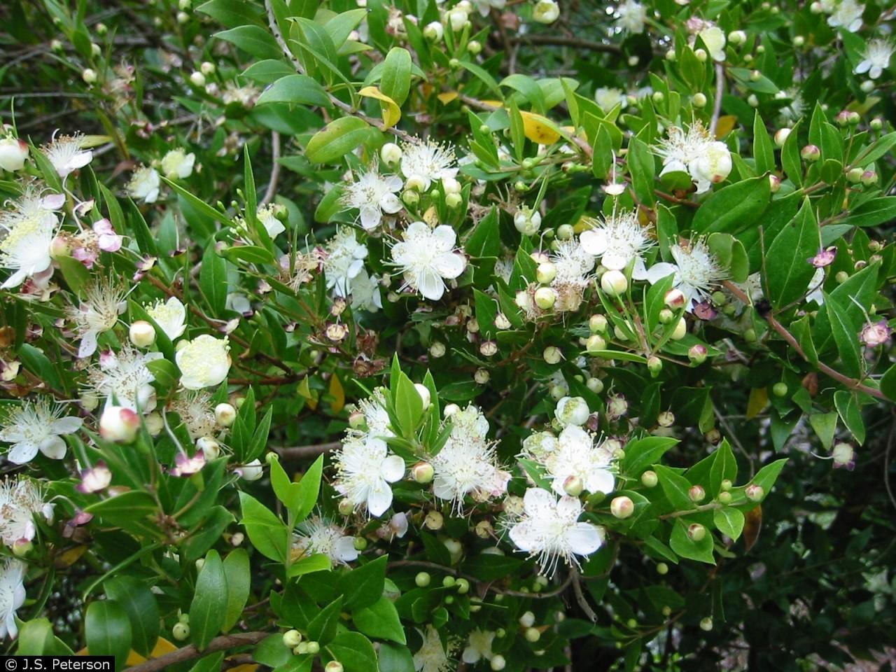 Мирт — уход в домашних условиях, цветение, размножение, пересадка