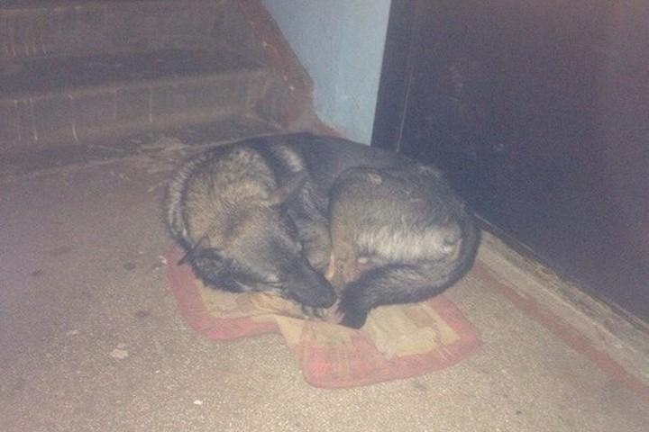 Красноярск! Друг человека в беде. В Красноярске собака целый год живет под дверями квартиры откуда ее выгнали после рождения ребенка.