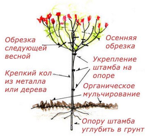 privivka-shtambovoi-rozi-12 (529x491, 46Kb)