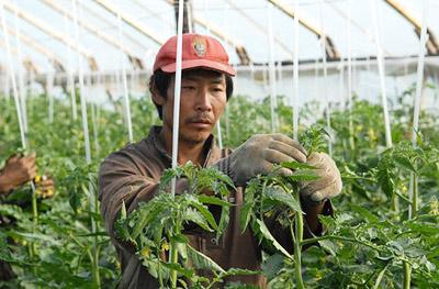Китайский овощевод: «Скажите спасибо, что мы вас кормим». Но сами это не едим...