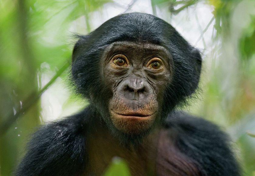 Бонобо выбирают любовь, а не войну