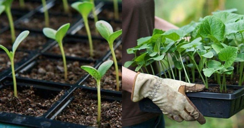 10 неочевидных ошибок при выращивании рассады