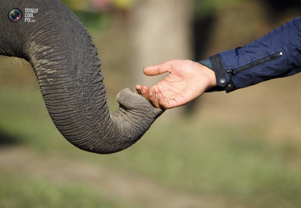 elephants 013 Слоны в национальном парке Читван