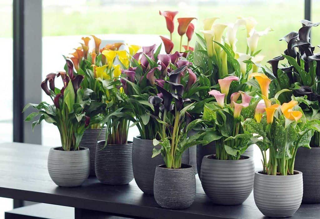 Цветы каллы — уход и выращивания в домашних условиях