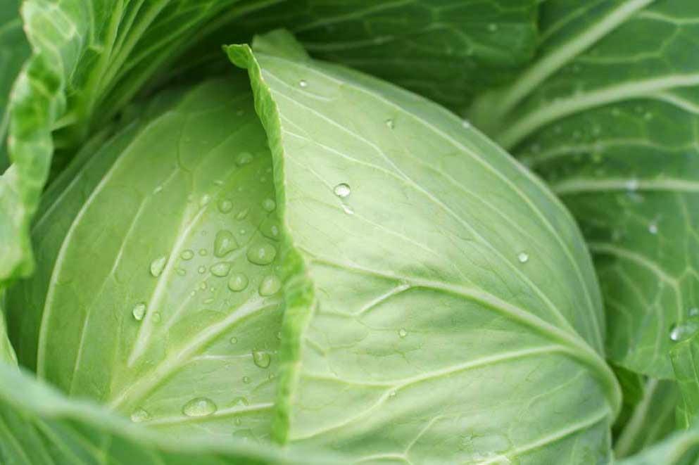 Капустный лист на грудь — и кашля как не бывало
