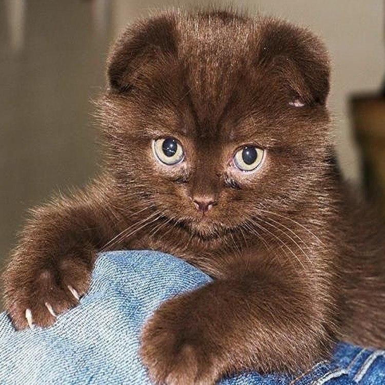Шоколадные коты
