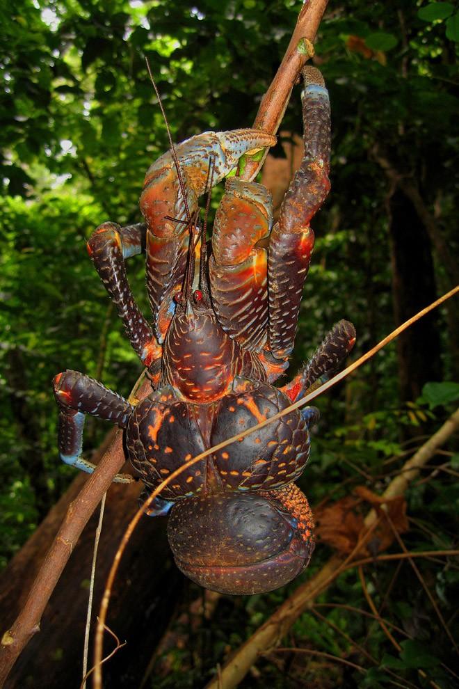 Coconutcrab01 Самый крупный представитель членистоногих, кокосовый краб!