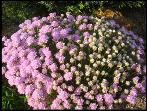 Посадка армерии в грунт и на рассаду: сроки и правила посадки цветка. Уход за растением и подготовка армерии к зиме