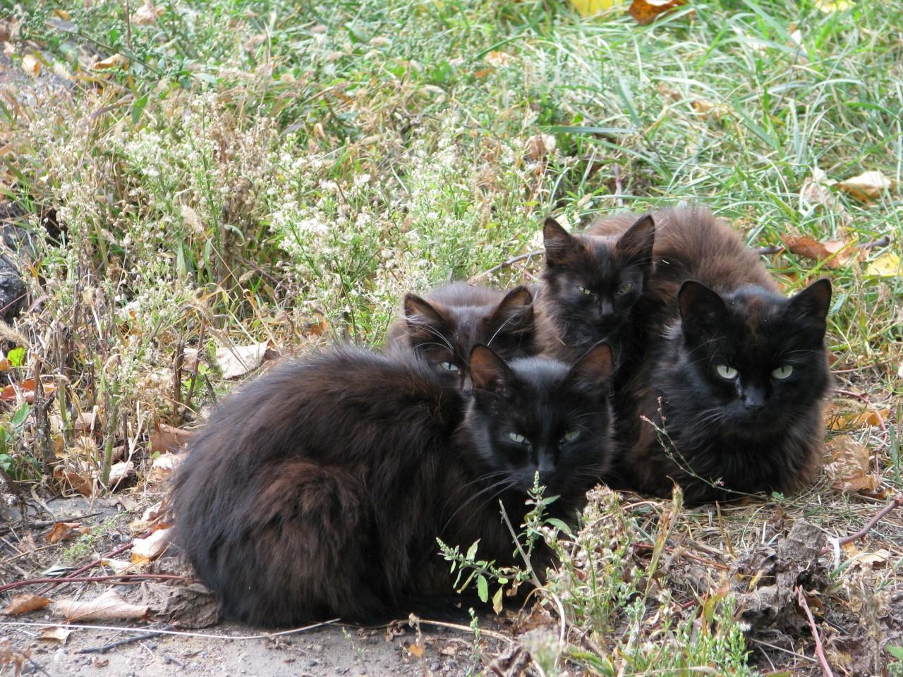 Братья наши меньшие:  «Жил да был черный кот…»