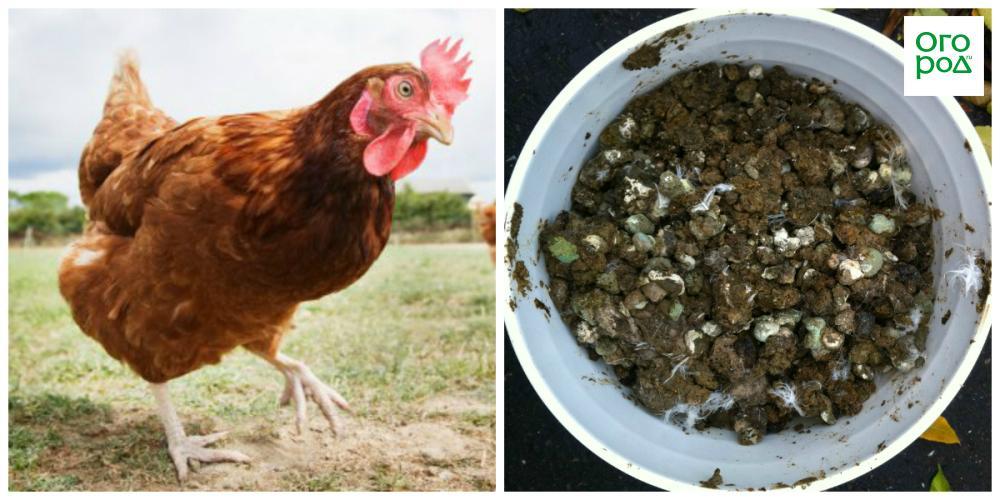 Подкормка куриным пометом, сделать куриный помет как