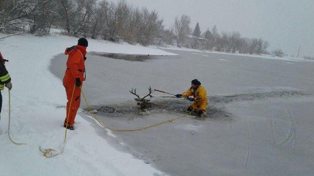 Спасение легкомысленного оленя, провалившегося под лёд!