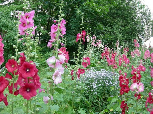 Цветы шток роза посадка и уход