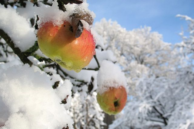 Что происходит с садом, если зимой аномальная погода?