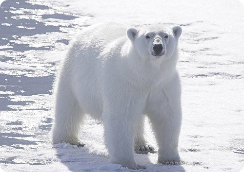 На севере России медведь пришел в гости к людям. Радушно встретили, печеньем угостили. (видео)