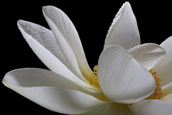Лотос—Священный цвет…