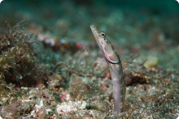 Оранжевогорлые щучьи морские собачки (лат. Chaenopsis alepidota)