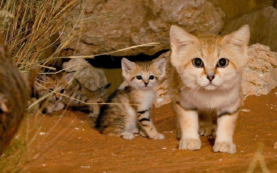 10 кошек, о существовании которых знают не все