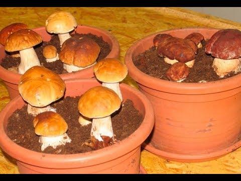 Белые грибы в цветочных горшках?