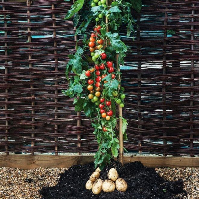 Самые необычные гибриды томатов