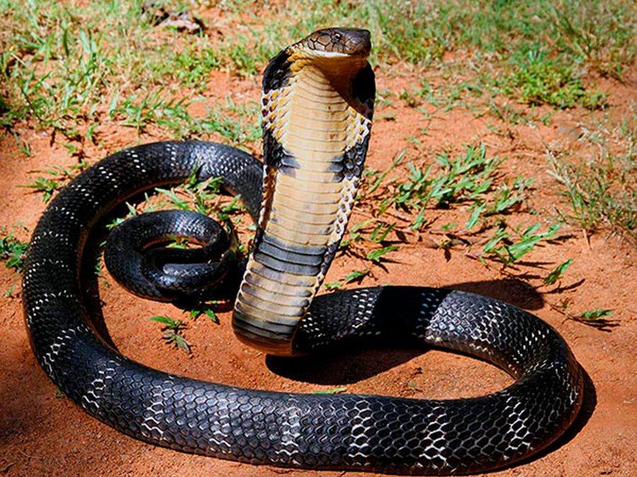 Смертельные объятия двух самых-самых змей