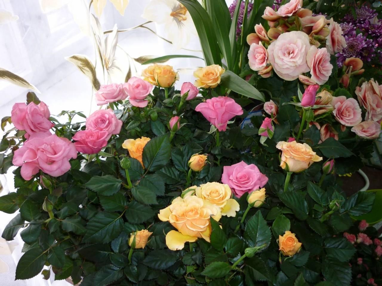 Мини роза комнатная